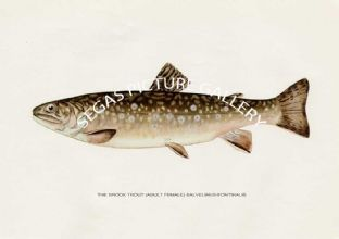 Brook Trout (Adult Female) Salvelinus-Fontinals